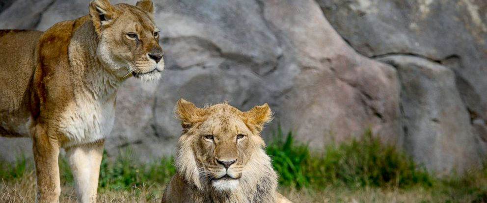 PHOTO: Two lions sit in their enclosure at the Fresno Chaffee Zoo.