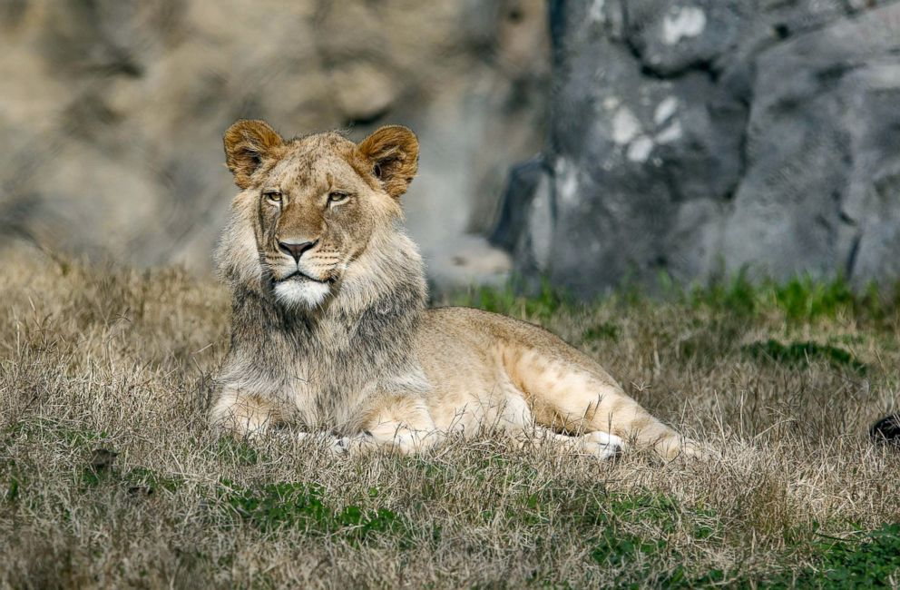 A lion sits in its enclosure at the Fresno Chaffee Zoo.