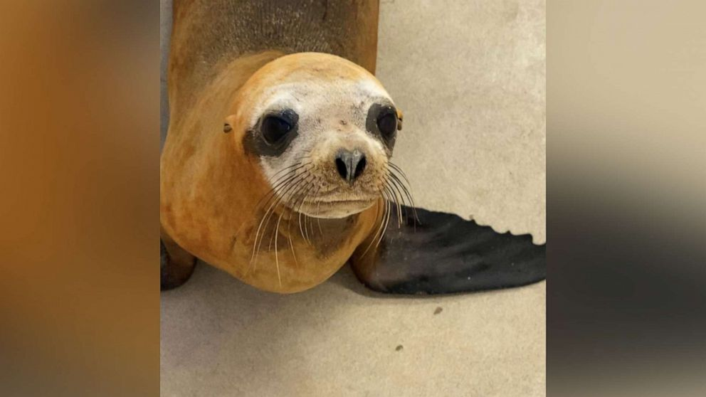 Sea lion named Mandalorian euthanized after being shot with pellet rifle thumbnail