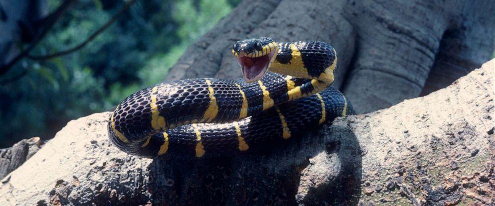 PHOTO: Mangrove Snake
