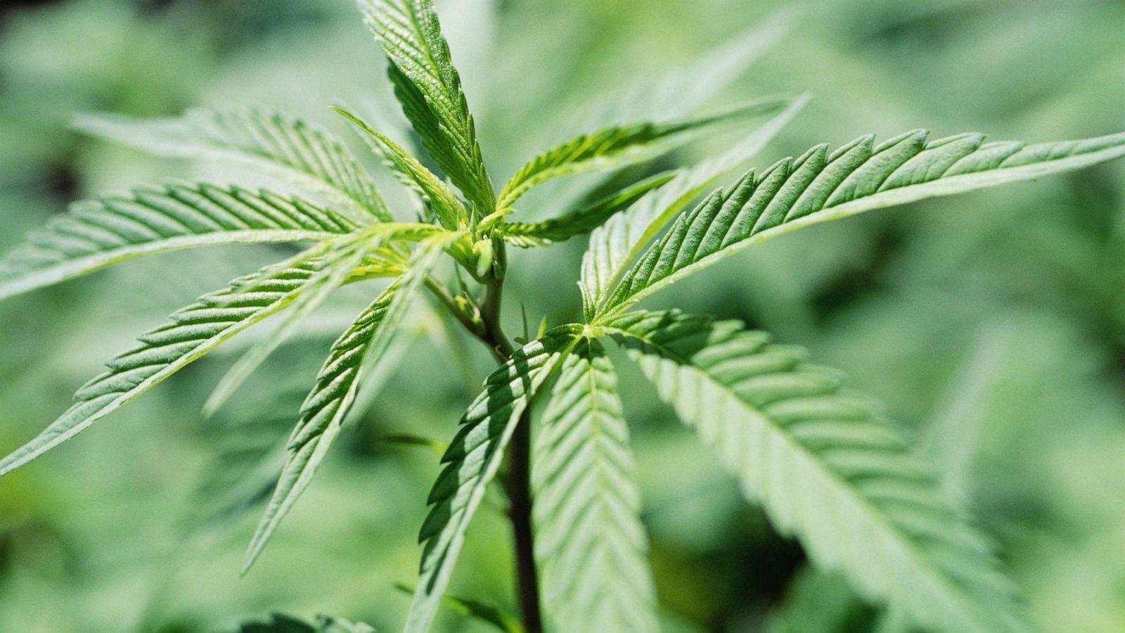 Картинка с марихуаной украина наркотики марихуана