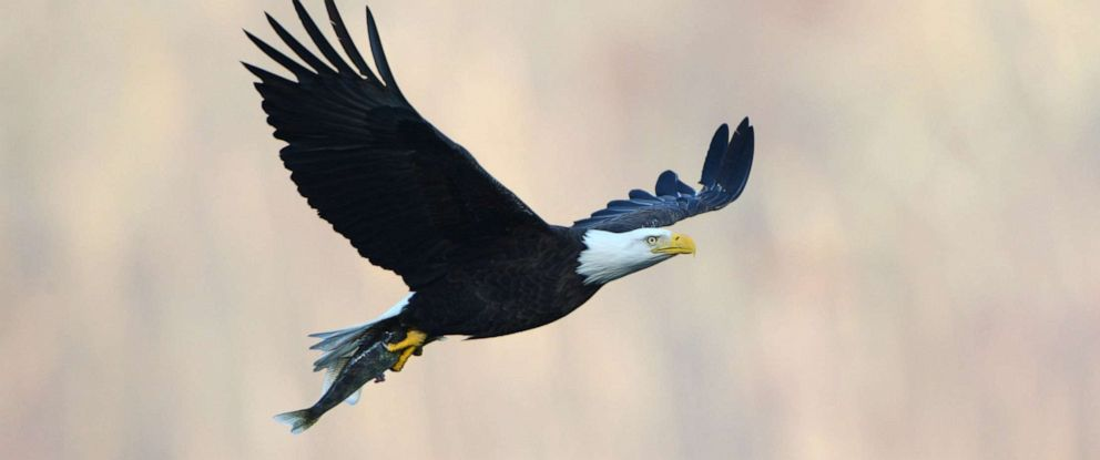 PHOTO: An American bald eagle carries away dinner at a prime fishing ground below Conowingo Dam in Harford County, Md., Nov. 29, 2012.