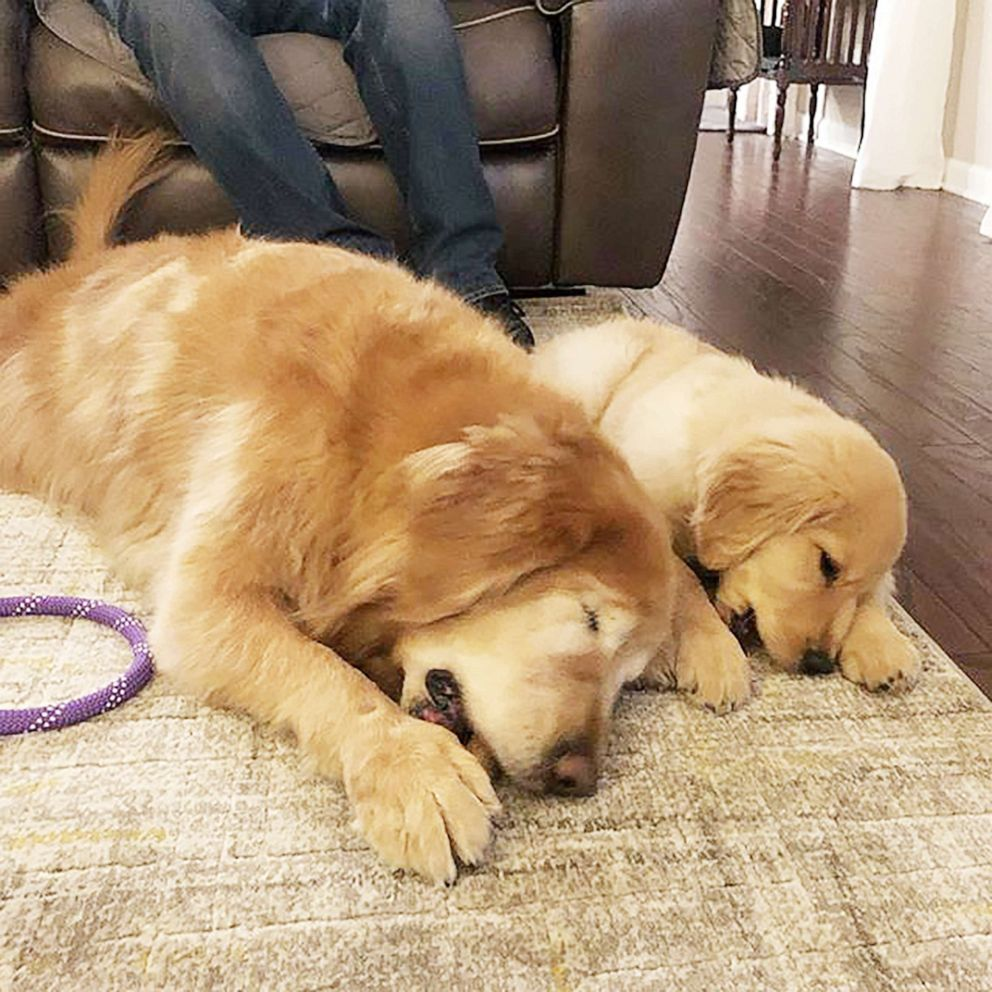 Charlie, an 11-year-old golden retriever, and 4-month-old Maverick have built a great relationship. The young dog helps Charlie, who lost his eyes after getting glaucoma, get around.