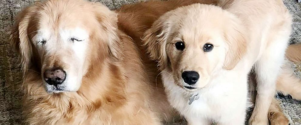 PHOTO: Charlie, an 11-year-old golden retriever, and 4-month-old Maverick have built a great relationship. The young dog helps Charlie, who lost his eyes after getting glaucoma, get around.