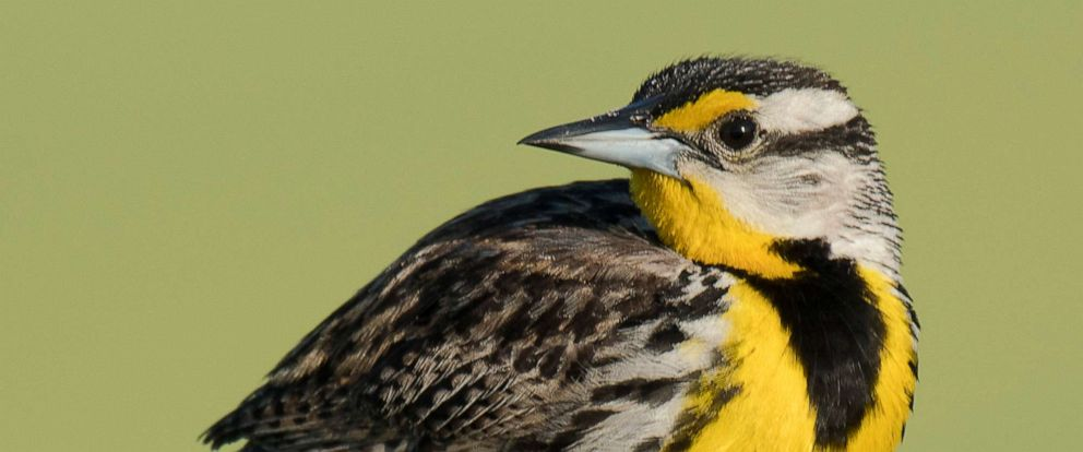 PHOTO: This undated file photo shows an Eastern meadowlark standing on a wooden fence post in central Florida near Lake Kissimmee.