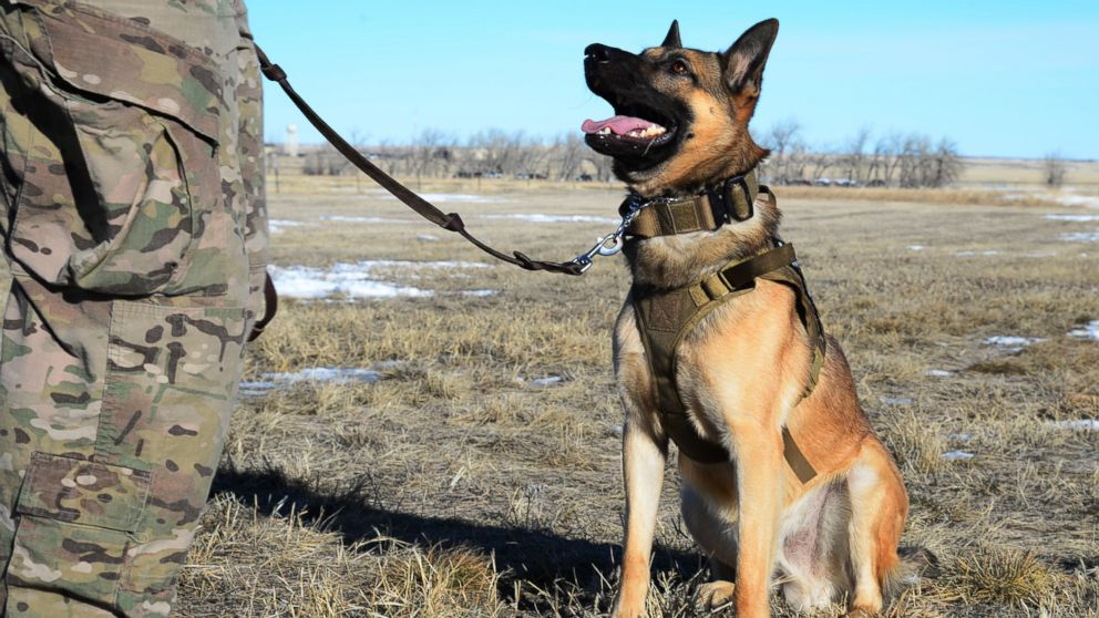On National K-9 Veterans Day, where are military dogs working around the  world? - ABC News