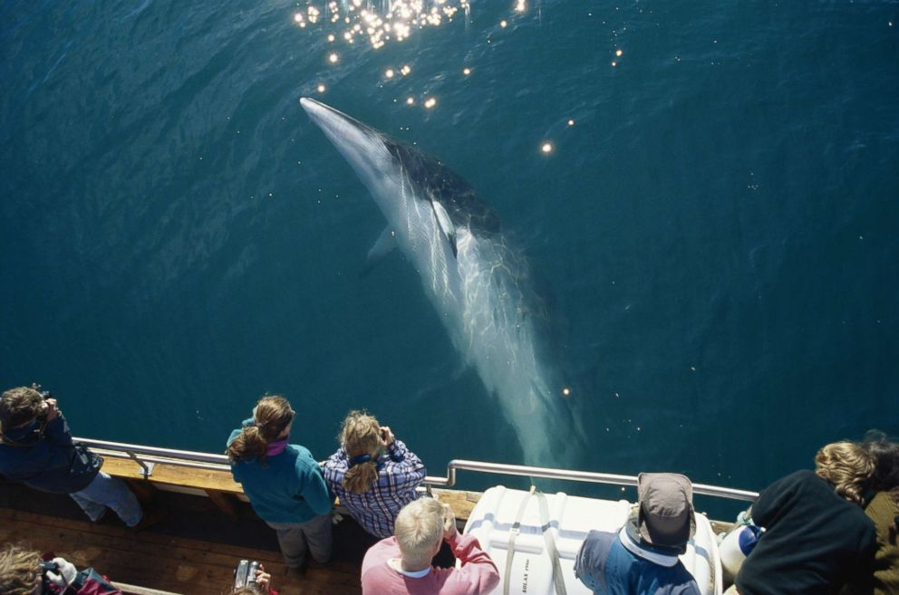 PHOTO: A Minke whale swims beneath a North Sailing whale-watcher boat close to the Arctic Circle at the top of Iceland, May 26, 2006.