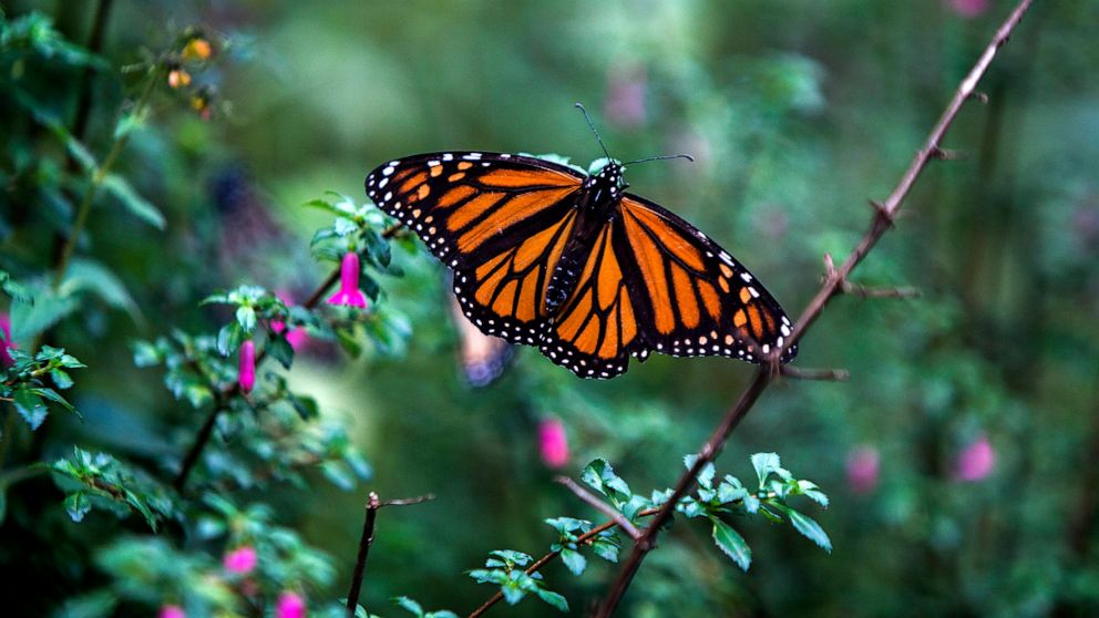 The fate of a monarch butterfly still hangs in balance after a decision by an endangered species