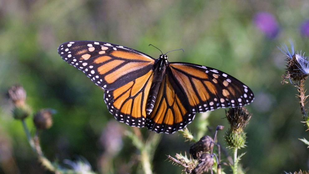PHOTO: In this 2014, file photo, a monarch butterfly, an iconic pollinator species, alights on a plant.