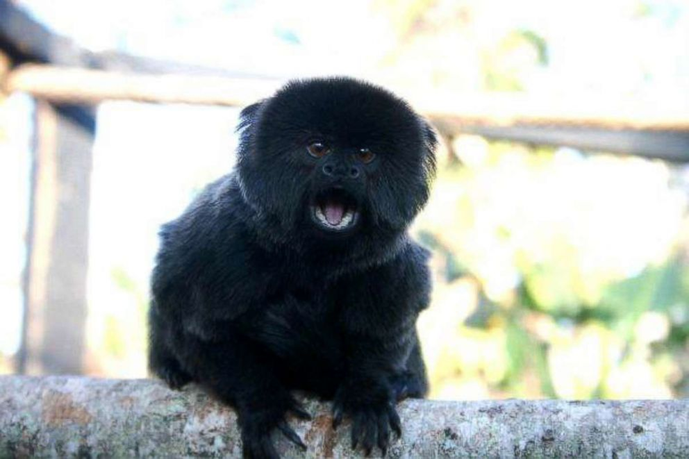 A Goeldi's monkey went missing from her enclosure at the Palm Beach Zoo in West Palm Beach, Fla., on Feb. 11, 2019.