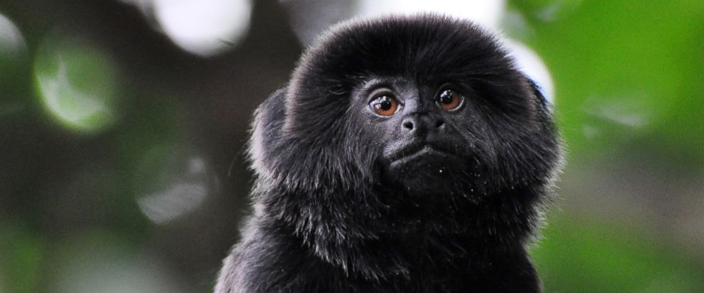 PHOTO: A Goeldis monkey went missing from her enclosure at the Palm Beach Zoo in West Palm Beach, Fla., on Feb. 11, 2019.