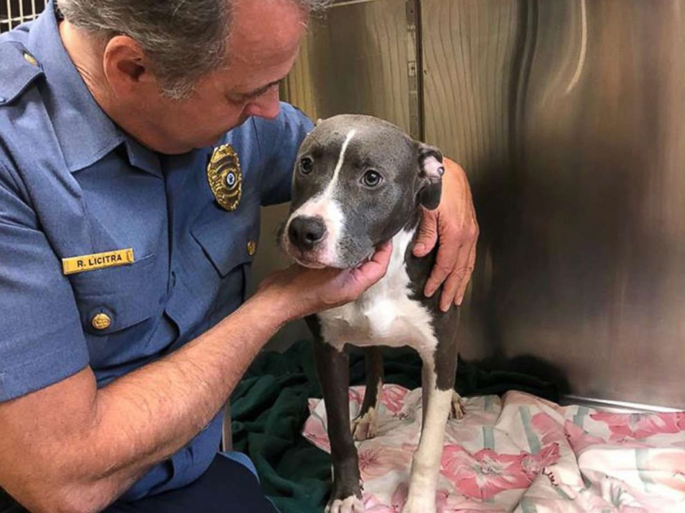 PHOTO: The Monmouth County Prosecutors Office released this image of a young male pit bull who was found trapped a wire cage surrounded by water on a beach in Highlands, N.J., July 30, 2018.