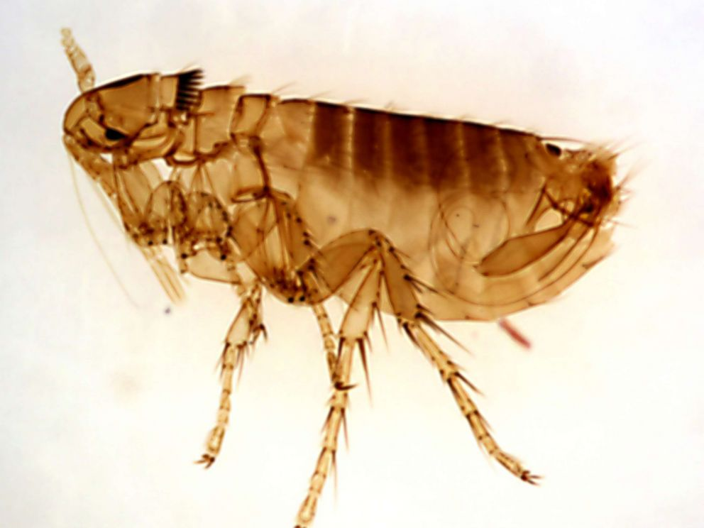 CDC via Getty Images The Oropsylla montana flea can be a carrier of the Yersinia pestis bacteria that causes the plague