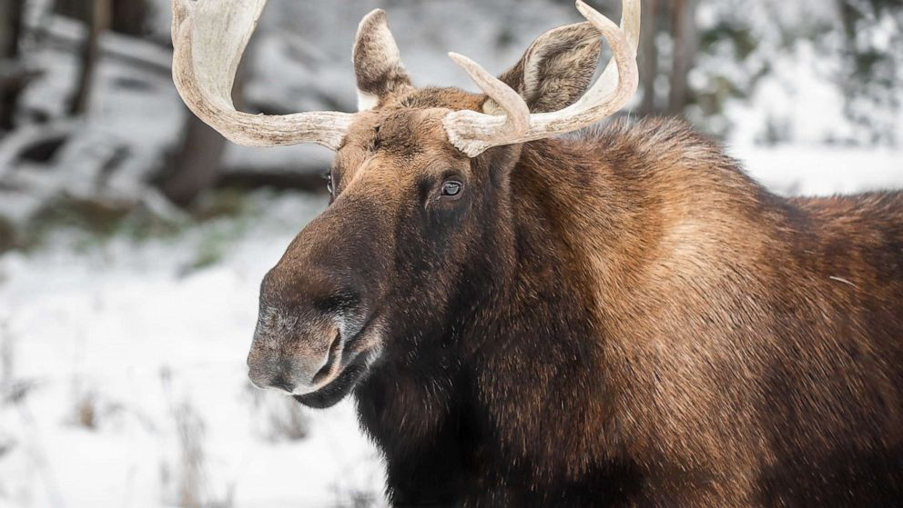 Wildlife officials issue new warning after moose stands its ground - ABC  News