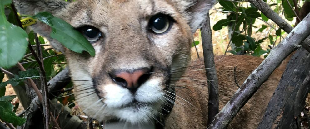 PHOTO: Officers from the California Department of Fish and Wildlife have tagged a mountain lion they found in a tree in the Pacific Palisades.