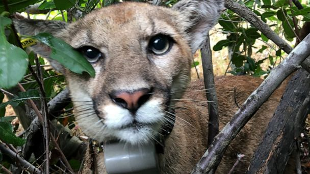 Mountain lion found in Southern California tree tagged by researchers