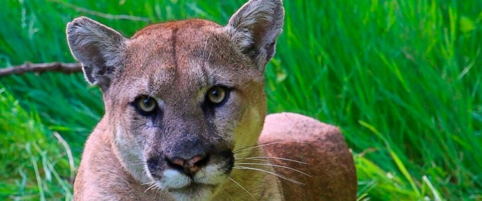 PHOTO: This undated photo provided by the U.S. National Park Service shows a mountain lion known as P-38, photographed in the Santa Monica Mountain range.