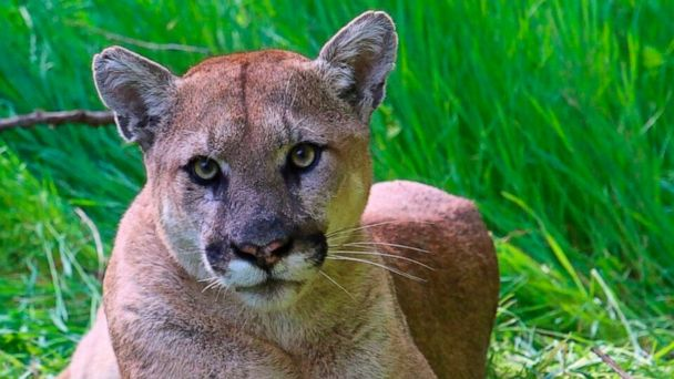 California man facing criminal charges for fatal shooting of protected mountain lion
