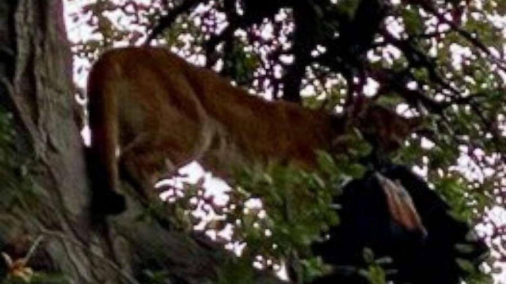 Mountain lion attacks small child at California park