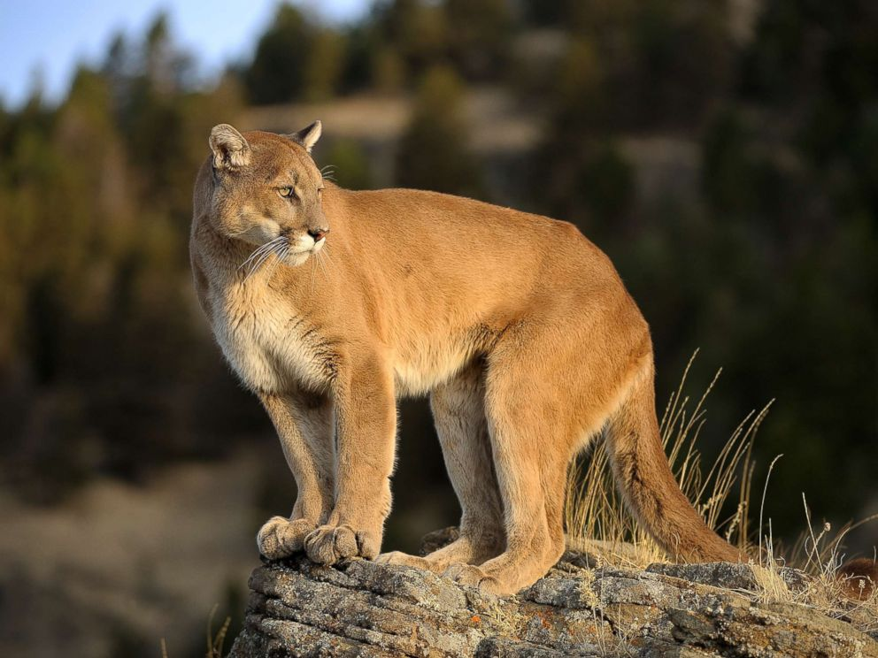 PHOTO: An undated stock photo of a mountain lion.