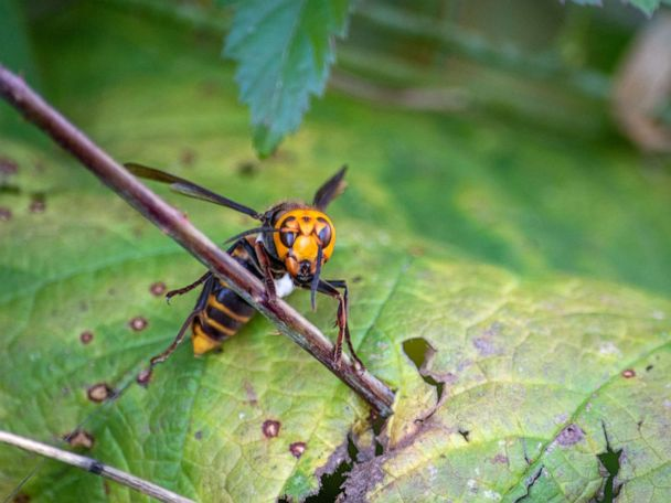 1st 'murder hornet' nest discovered in US: Officials