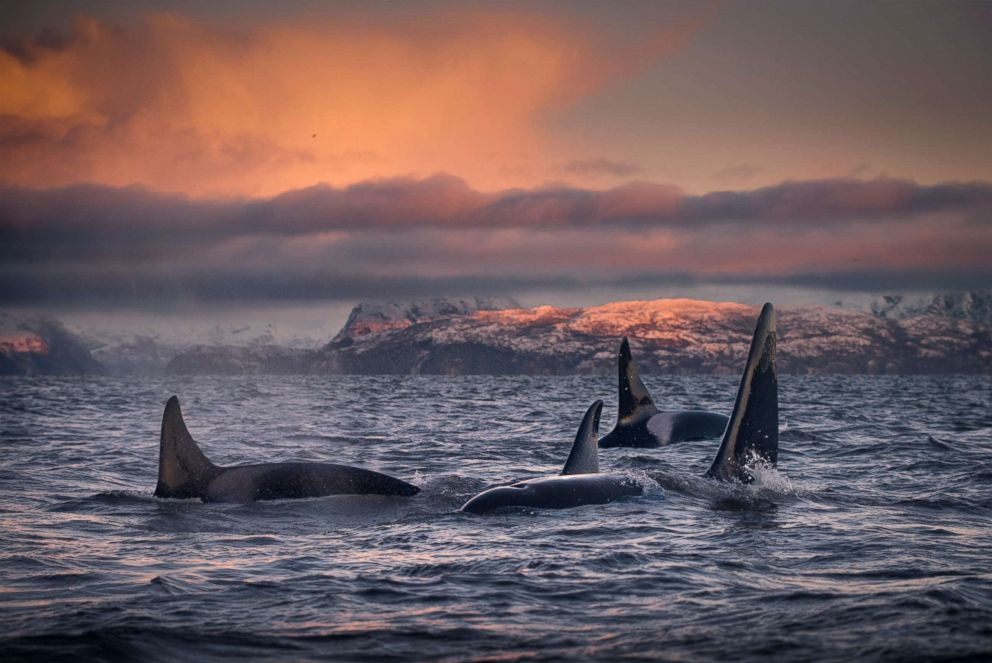 A pod of killer whales are seen in this undated file photo.