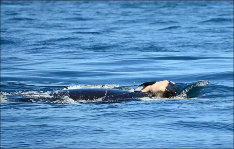 PHOTO: A Southern Resident killer whale died a short time after it was born near Victoria, British Columbia, July 24, 2018.