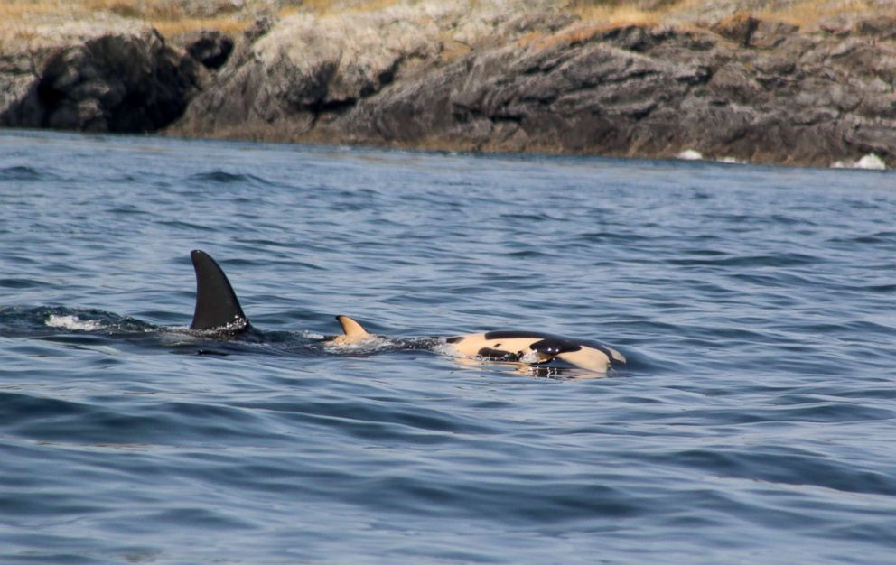 PHOTO: Researchers have spotting a grieving orca whale still holding on to her dead calf at British Columbias Southern Gulf Islands, July 31, 2018, eight days after the death of her calf.
