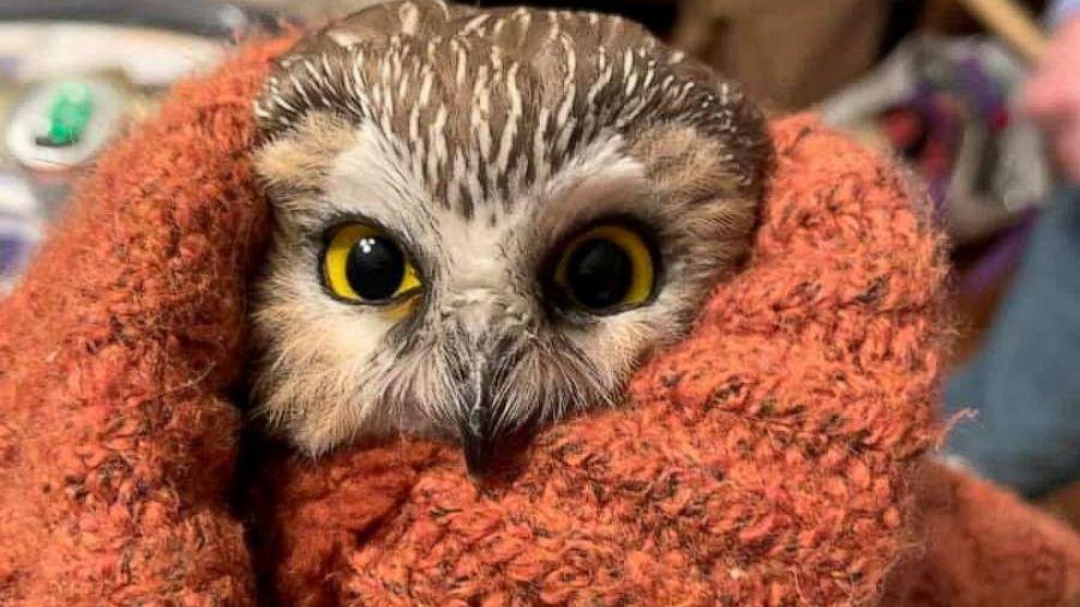 p00d46nioa2z4m https abcnews go com us tiny owl found inside rockefeller christmas tree days story id 74290525