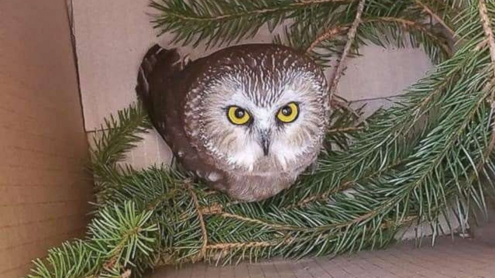 PHOTO: Rockefeller, a northern saw-whet owl, looks up from a box, after being found and rescued in a Christmas tree in Rockefeller Center, in New York, Nov. 16, 2020.