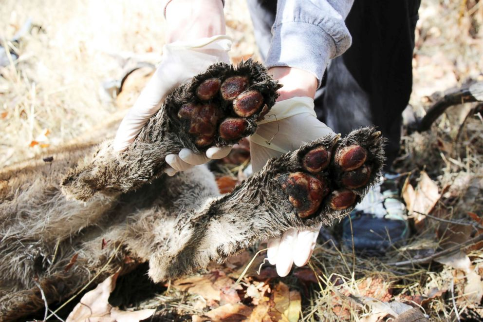 PHOTO: This Dec. 3, 2018, photo provided by the U.S. National Park Service shows the burned paws of a mountain lion known as P-64, a 4-year-old male also known as the Culvert Cat, in Simi Hills, Calif.