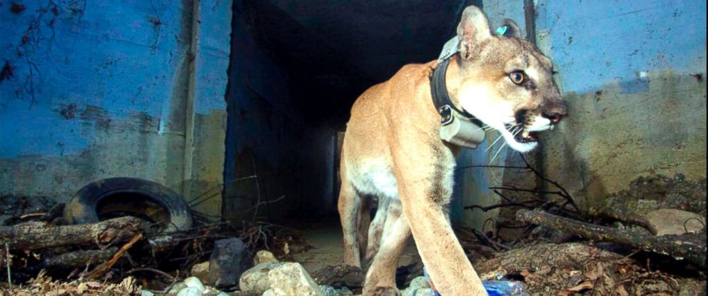 """PHOTO: This May 22, 2018, photo provided by the U.S. National Park Service shows the mountain lion known as P-64, also known as the """"Culvert Cat,"""" in Agoura Hills, Calif."""