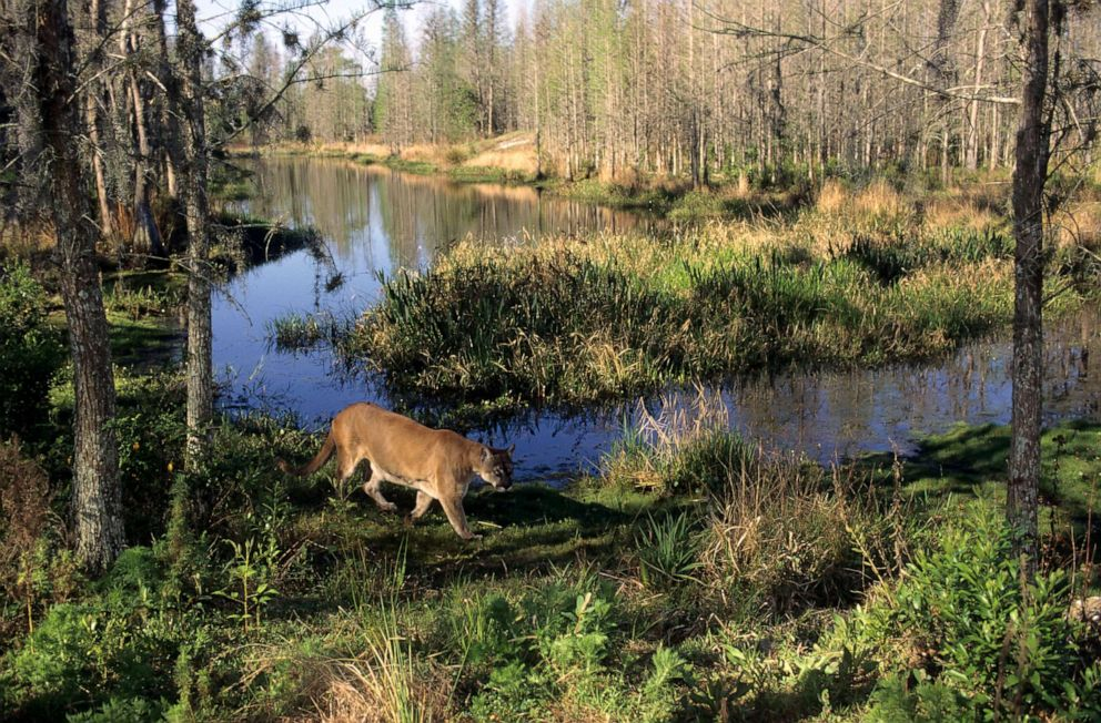 PHOTO:A panther is seen in the everglades in Florida.