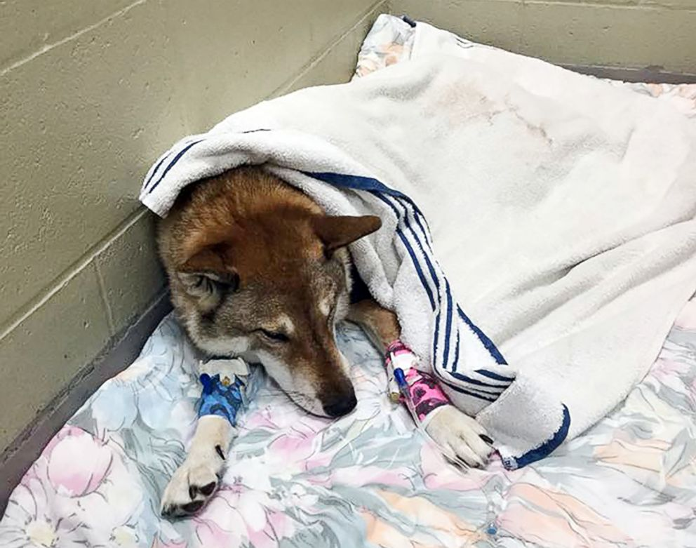 Mura rests after surgery at Tufts Veterinary Emergency Treatment and Specialties hospital in Walpole, Mass.
