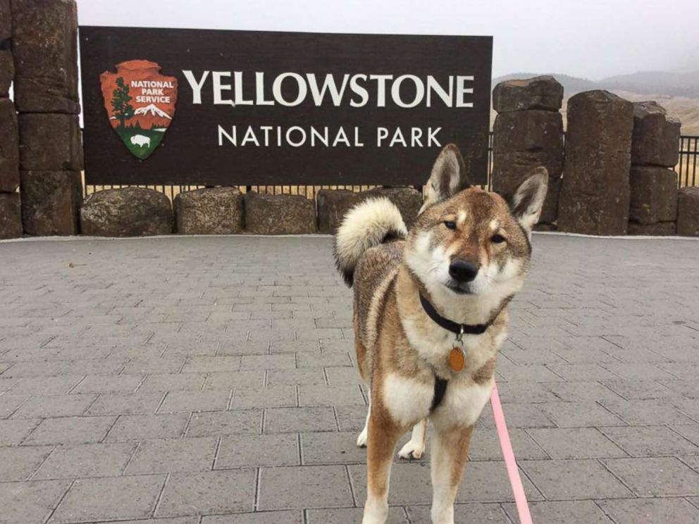 Paul Heroux's dog Mura is pictured at Yellowstone National Park during their road trip.