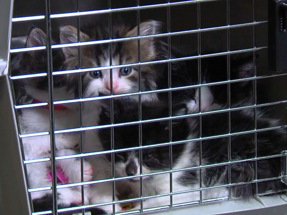Kittens Auditioning For Police Department
