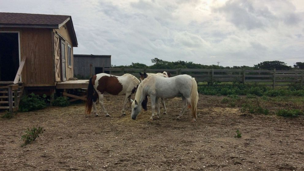 Wild horses of the Outer Banks unharmed after Hurricane Florence - ABC News