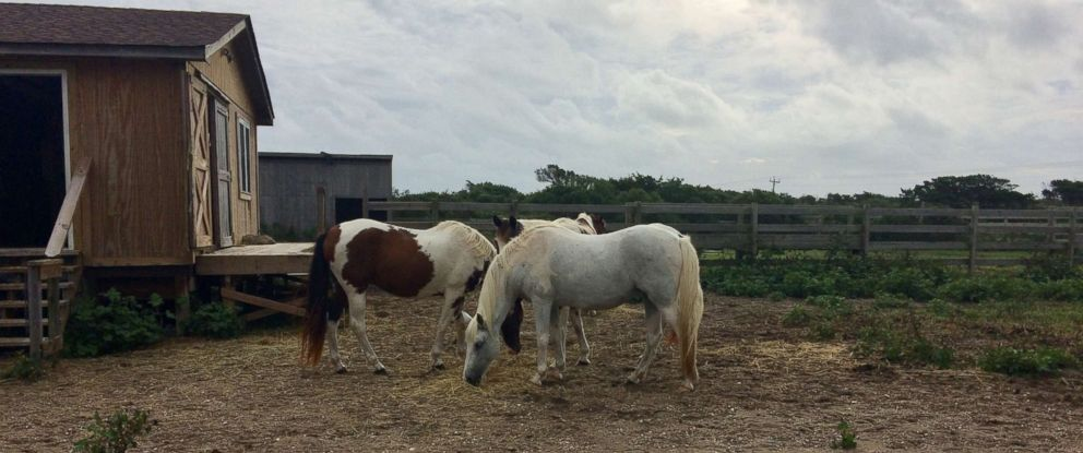 PHOTO: Cape Hatteras National Seashore shared a photo on social media, Sept. 15, 2018, announcing that the Ocracoke ponies are safe and that the pony pen did not sustain any damage from Hurricane Florence.