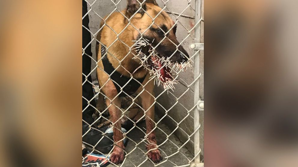 Quilled in the line of duty: K-9 cop punctured by porcupine in search for suspect