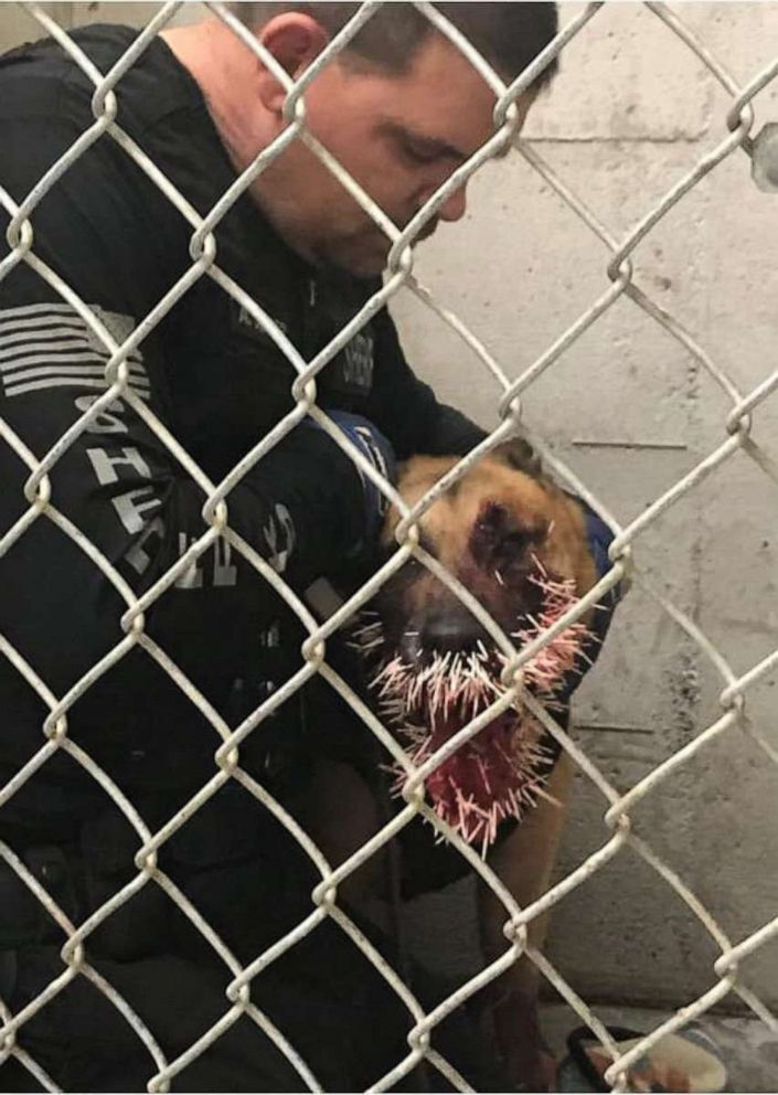 PHOTO: A sheriff dog was punctured by over 200 porcupine quills during a pursuit, Coos County, Ore., April, 20, 2019.