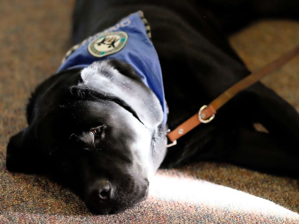 PHOTO: Preston, a therapy dog, provides comfort as victims confront admitted sexual abuser Larry Nassar during his sentencing hearing at Ingham County Circuit Court in Lansing, Mich. on Jan. 19, 2018.