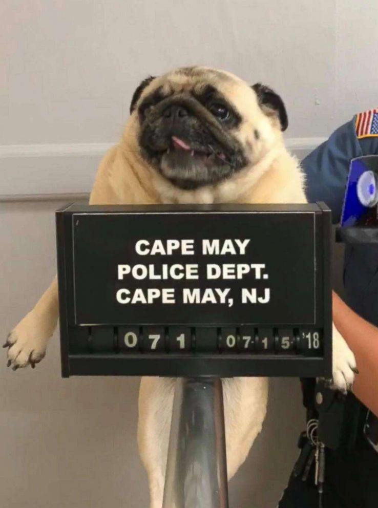 PHOTO: Police in Cape May, NJ, posted a mugshot of a lost pug they found, July 15, 2018.