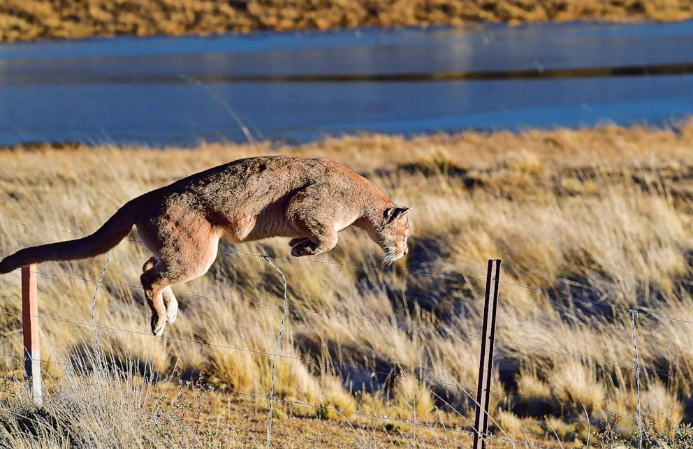 PHOTO: A Puma is pictured in the book Path of the Puma.