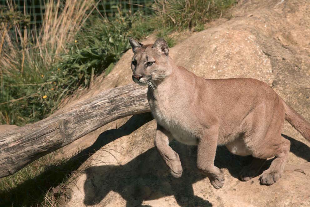 PHOTO: A stock photo of a puma.