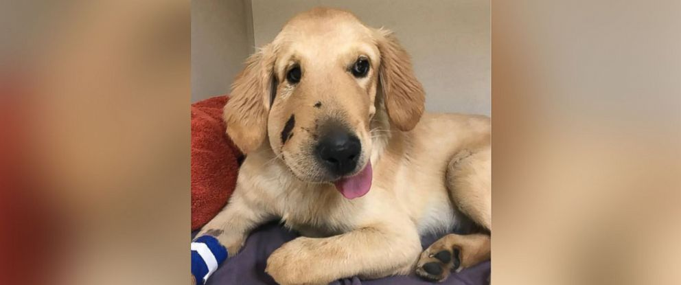 Hero Puppy Recovering From Snake Bite After Coming Between Rattler