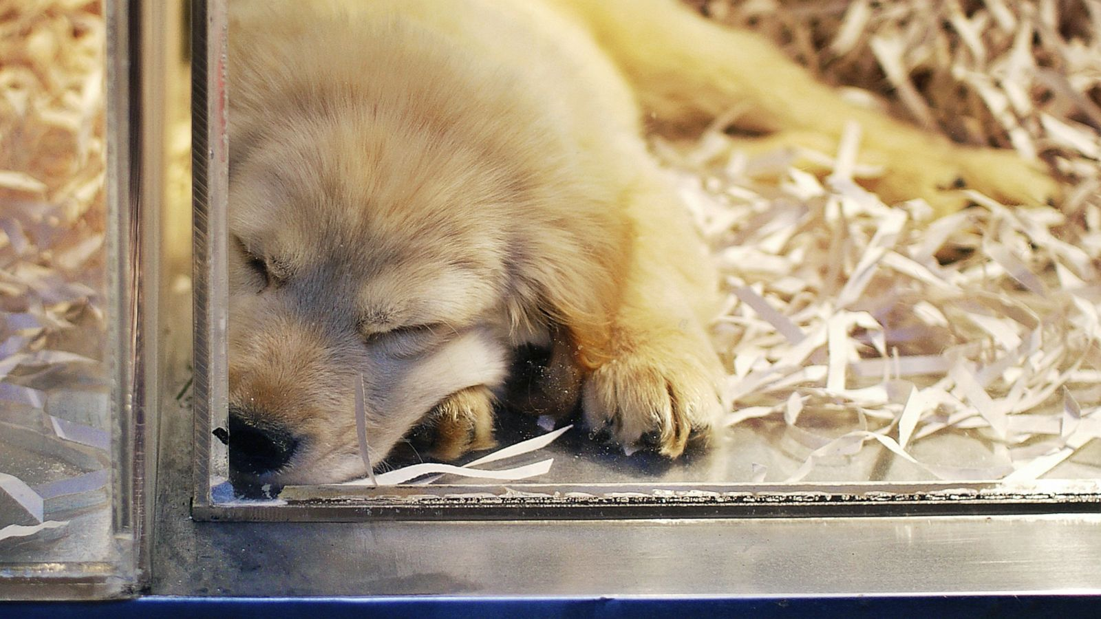 Outbreak Of Drug Resistant Infection Linked To Pet Store Puppies Cdc Says Abc News