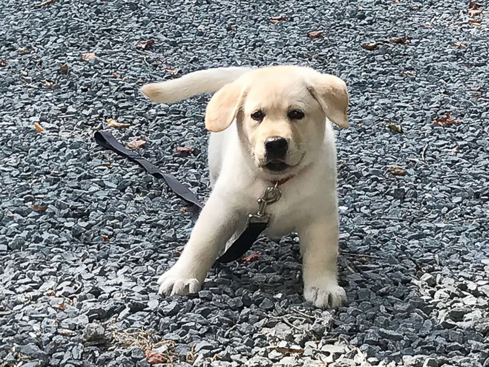 PHOTO: A 3-and-a-half-old Labrador puppy named Zoey survived an opioid overdose in Massachusetts, when her owner said the dog fell ill after chewing on a cigarette box she found on the street.