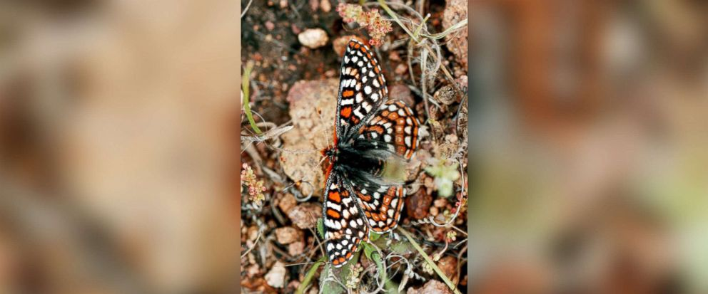 PHOTO: A Quino Checkerspot butterfly feeds on the ground in the Delzura area of San Diego County, Calif., April 14, 1998.