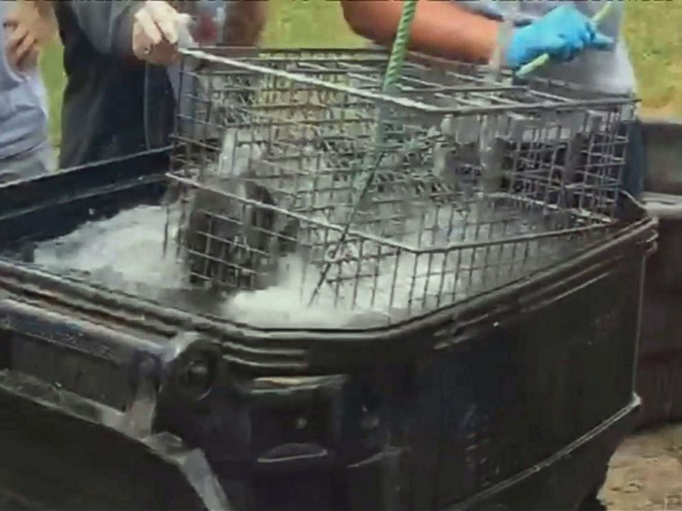 PHOTO: Students at Forest High School in Marion County, Fla., recorded video purporting to show raccoons being drowned in front of an agricultural science class.