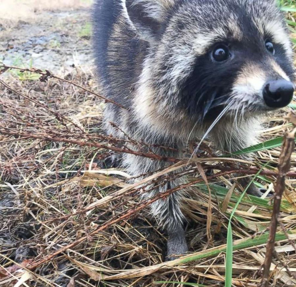 PHOTO: Rabid raccoons that are believed to be drunk on crabapples have been captured by police in Milton, W.V. and returned to the woods, Nov. 12, 2018.